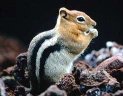 Chipmunk photographed in Deschutes National Forest, Oregon
